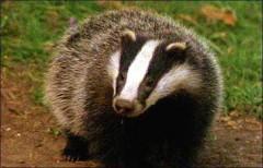 Ferocious Llandysul badger
