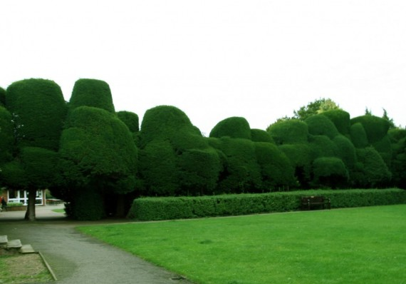 The Yew Hedge at Ayscoughfee Hall