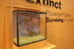 Extinct Passenger Pigeons Surviving in a Glass Case