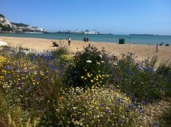 Wild flowers thriving in the shingle beds on Dover's Esplanade