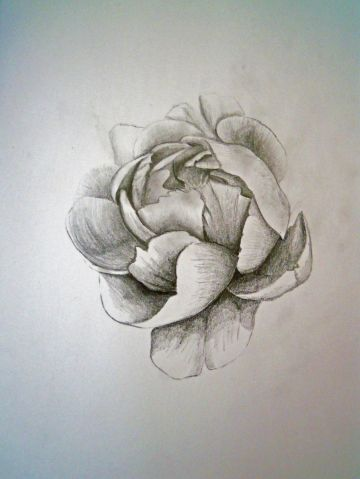 Study of a Paeony