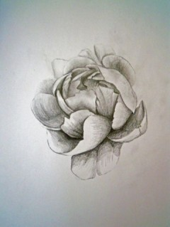 Peony study for Pearl
