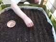 Richard sowing the flax seeds