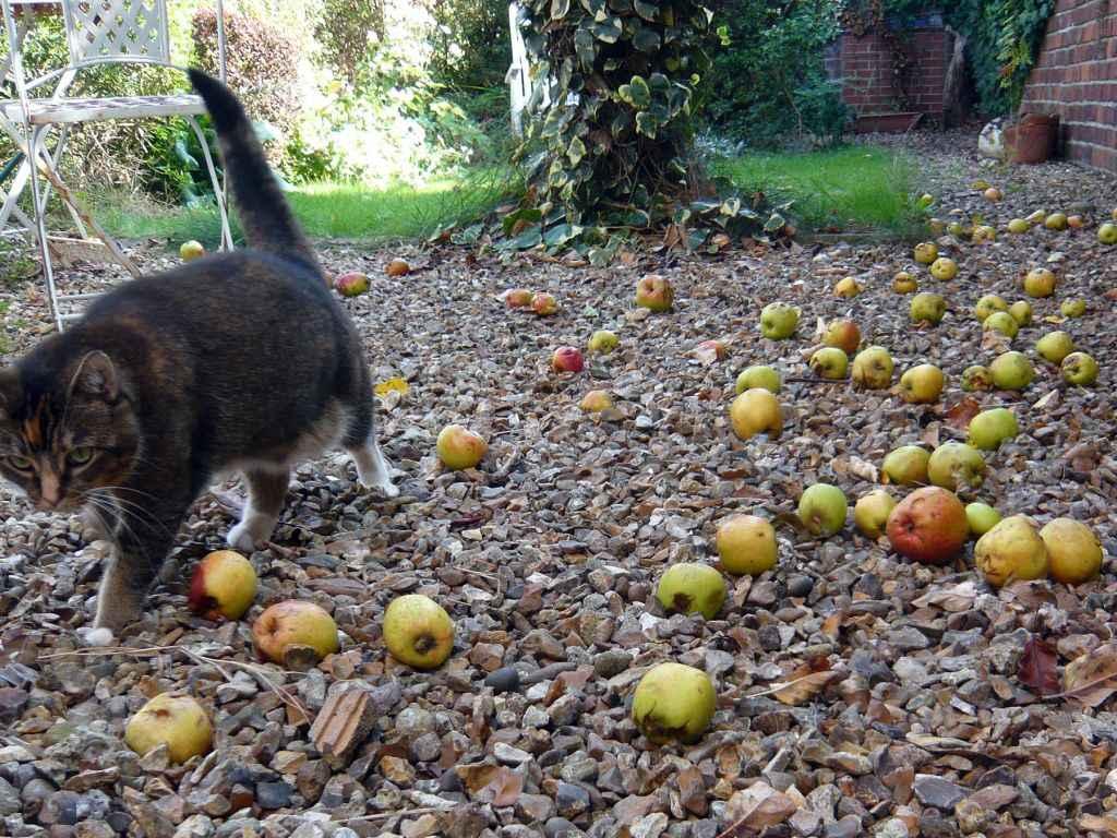 fallen-apples
