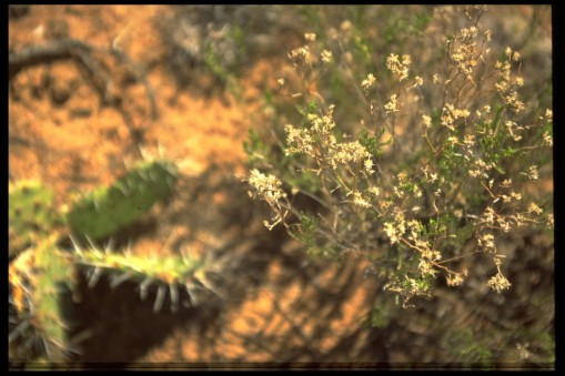 photo of cactus and desert flowers in Portales, New Mexico 1994