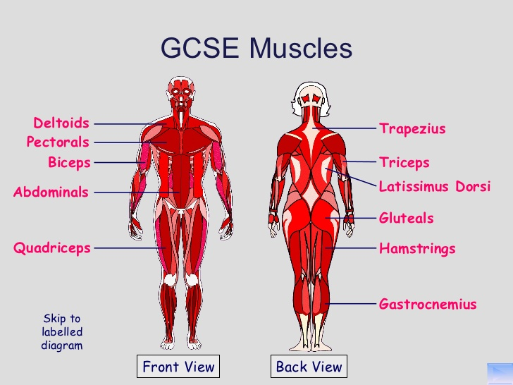 Gcse muscles system a n the artists information company gcse muscles system ccuart Image collections