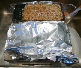 Wheat in trays half covered in tin foil (27-01-17)