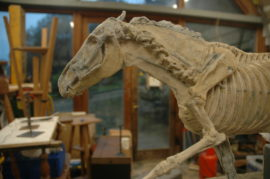 Running horse showing skeleton side