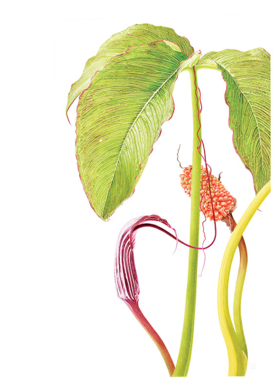 Arisaema life cycle