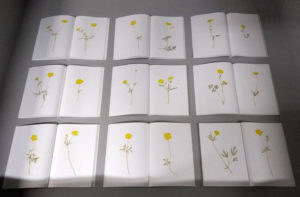100 Buttercups, Laurie Clark, WAX 366, on display in an exhibition curated by Laurie Clark and David Bellingham at Edinburgh College of Art Library, 2017.
