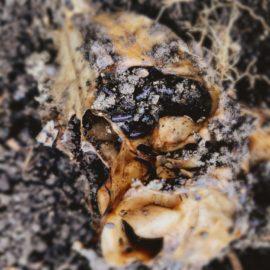 Muntjac Deer grave soil