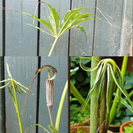 Arisaema cilliatum in my garden in Edinburgh