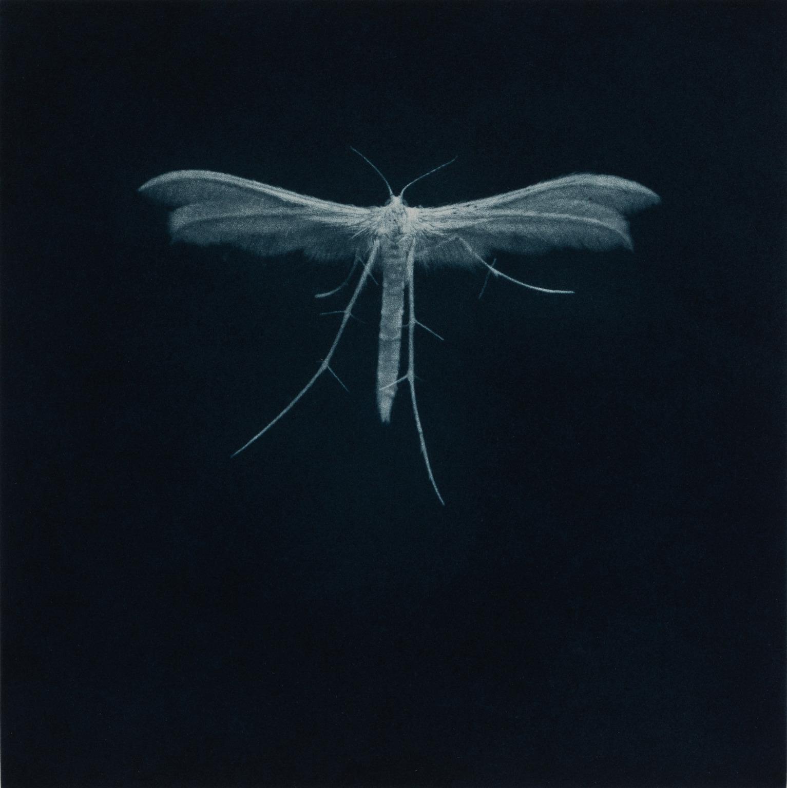 Sarah Gillespie, White Plume Moth